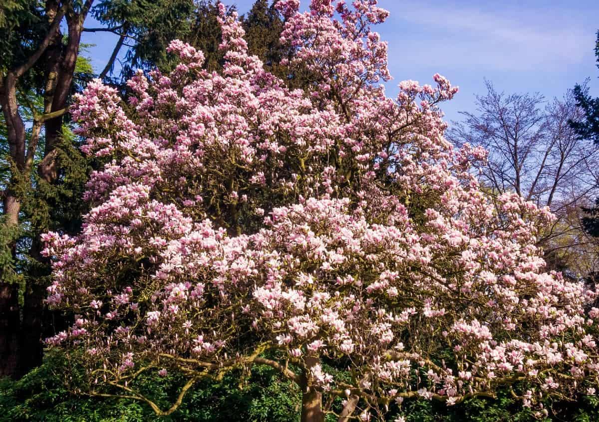 Magnolia trees are best known for their beautiful blossoms.
