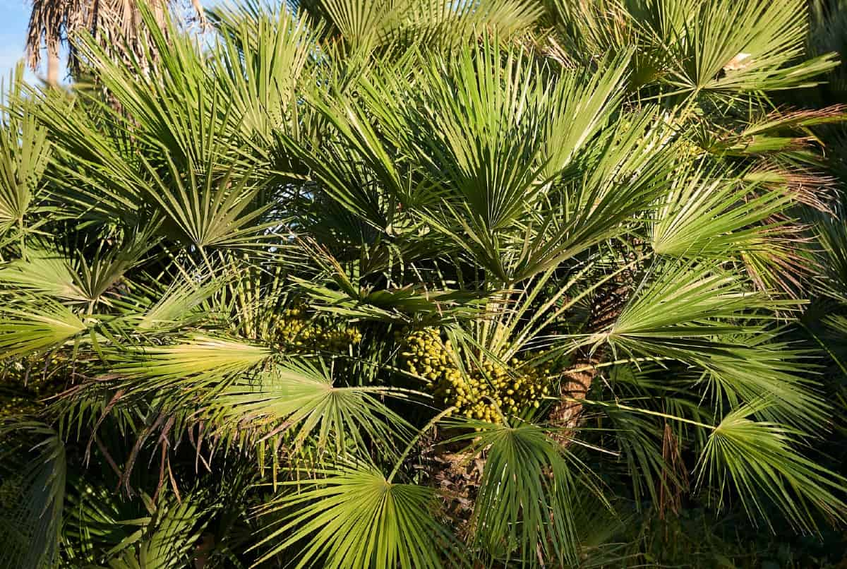 Mexican fan palm trees need a lot of sun.