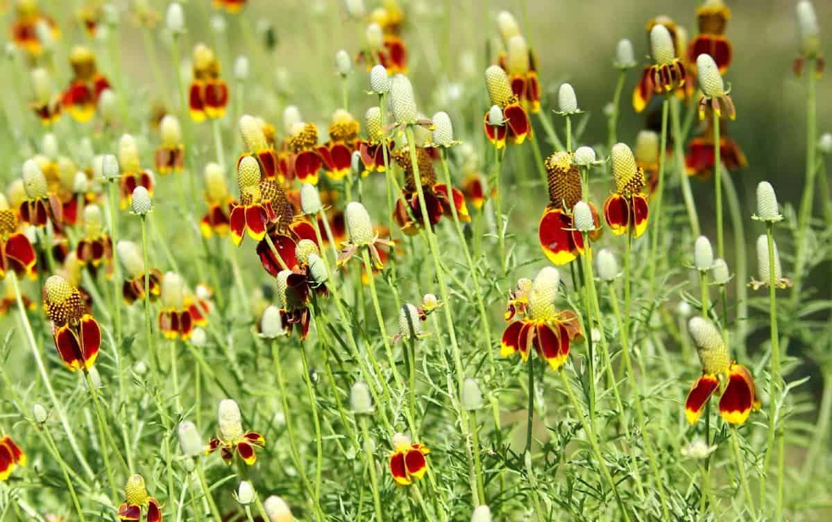 Mexican hat flowers look like tiny sombreros.