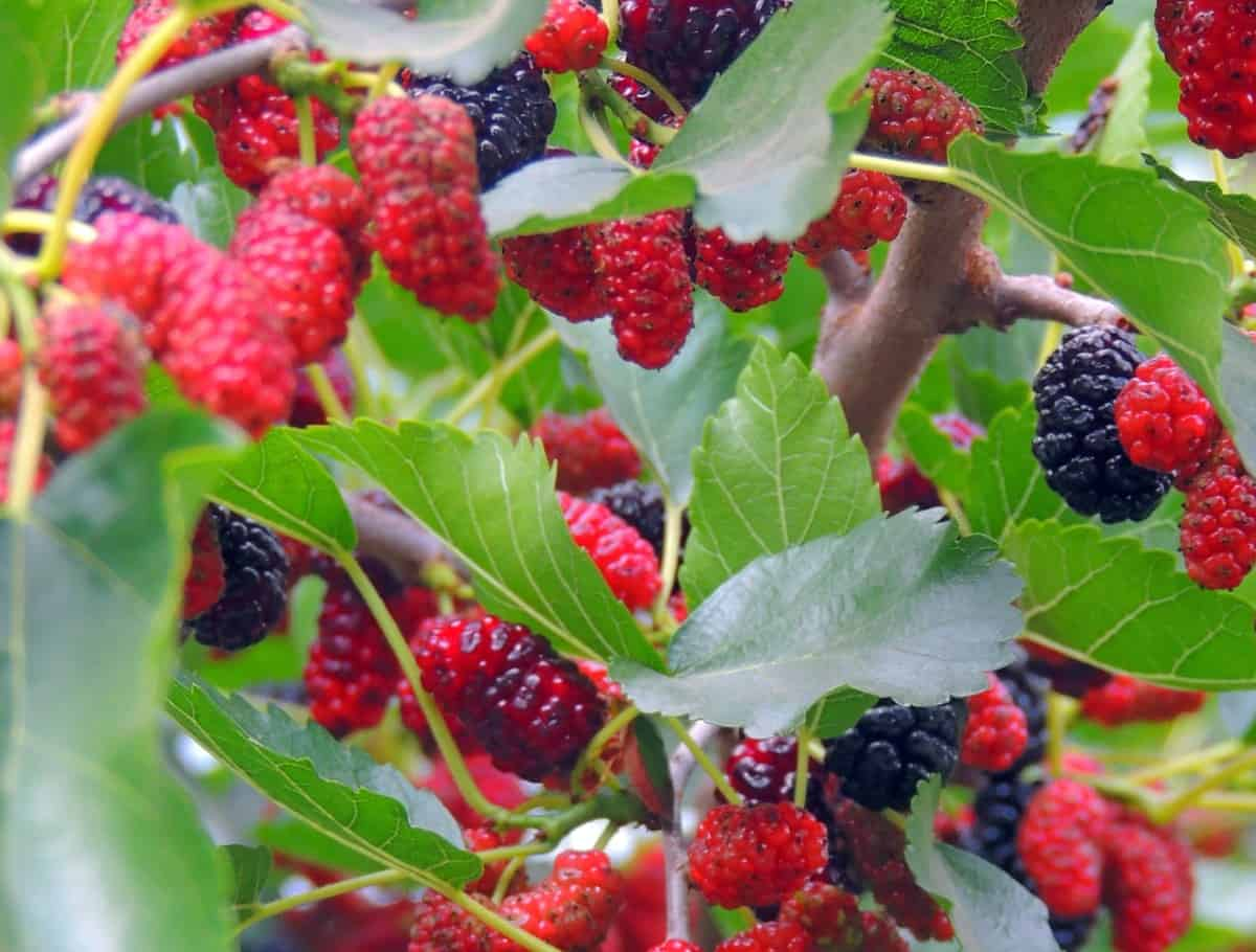 Mulberry trees are susceptible to disease which weakens the wood.