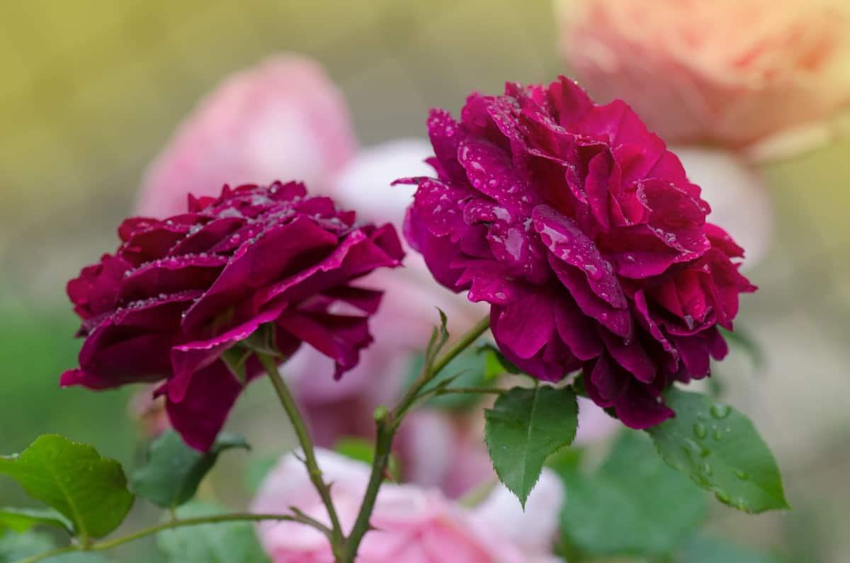 Munstead wood roses are an English hybrid with a fruity smell.