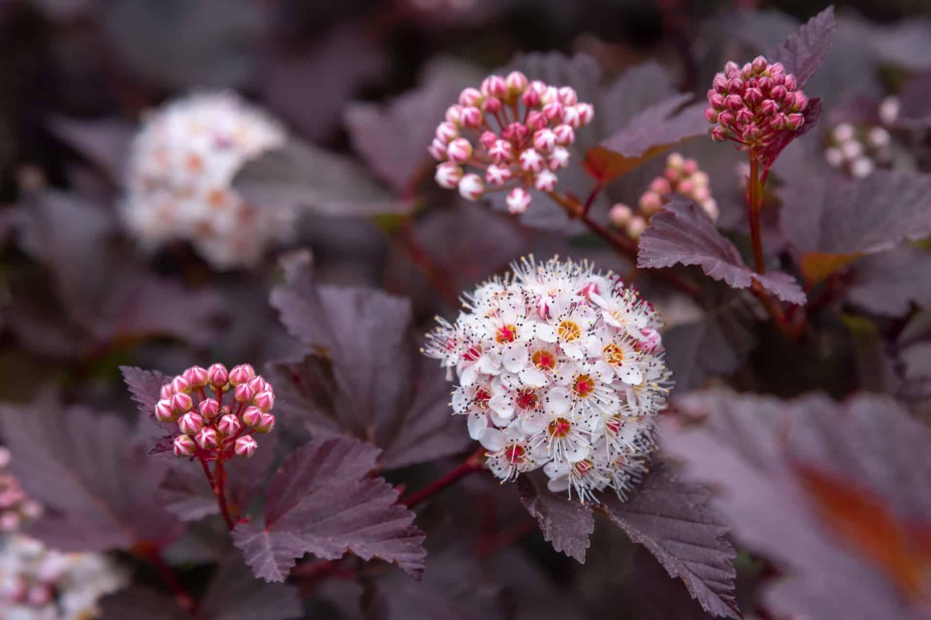 Ninebark is a cold-hardy shrub.