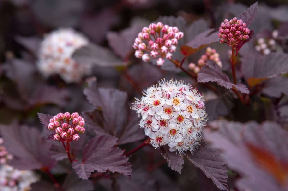 Ninebark is a maple-like shrub.