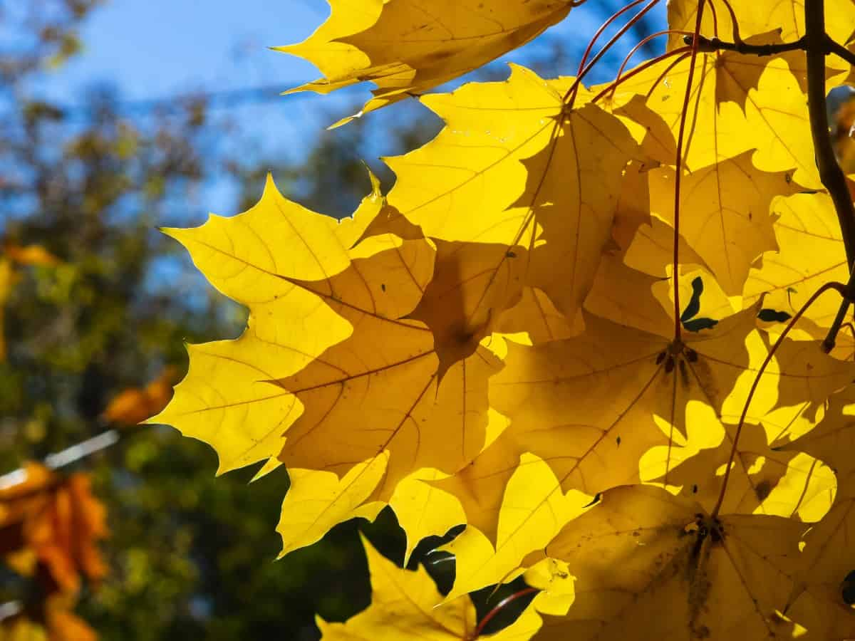 Norway maple trees spread aggressively.