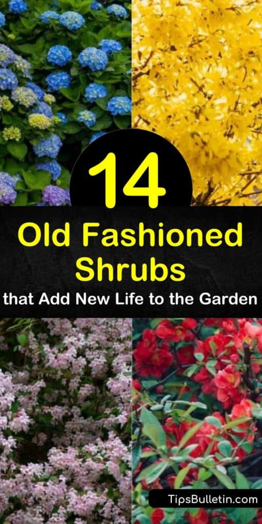 Learn about old fashioned flowering shrubs to delight visitors to your garden, from hydrangea to viburnum. Choose among weigela, with its trumpet-shaped pink flowers; forsythia, with its arching branches coated in yellow blooms; and more. #shrubs #oldfashioned