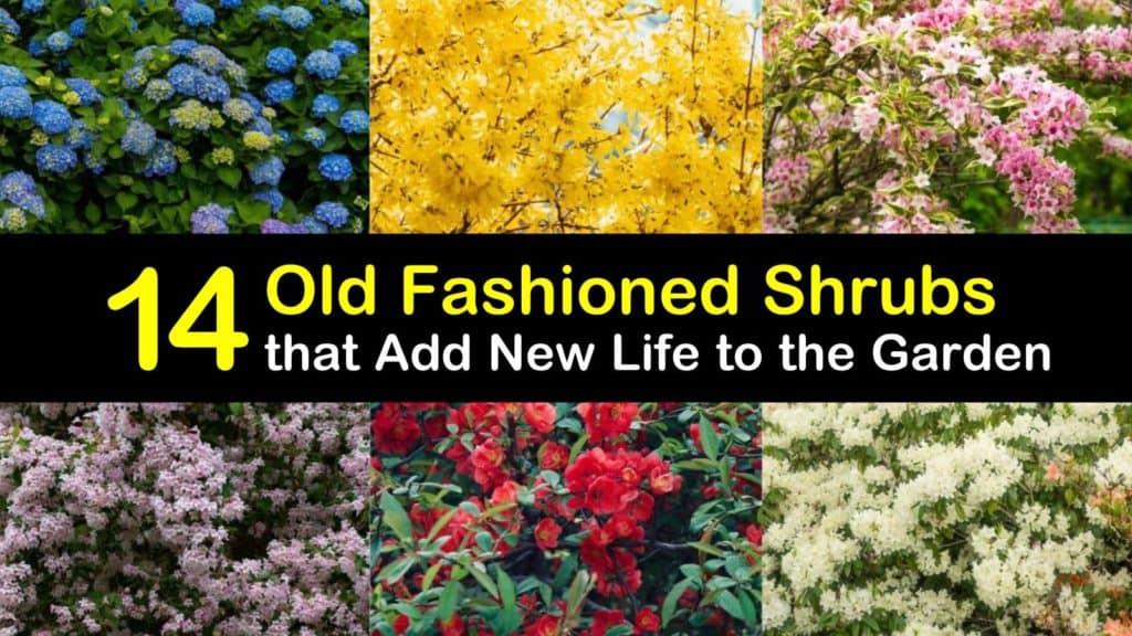 Old Fashioned Shrubs titleimg1
