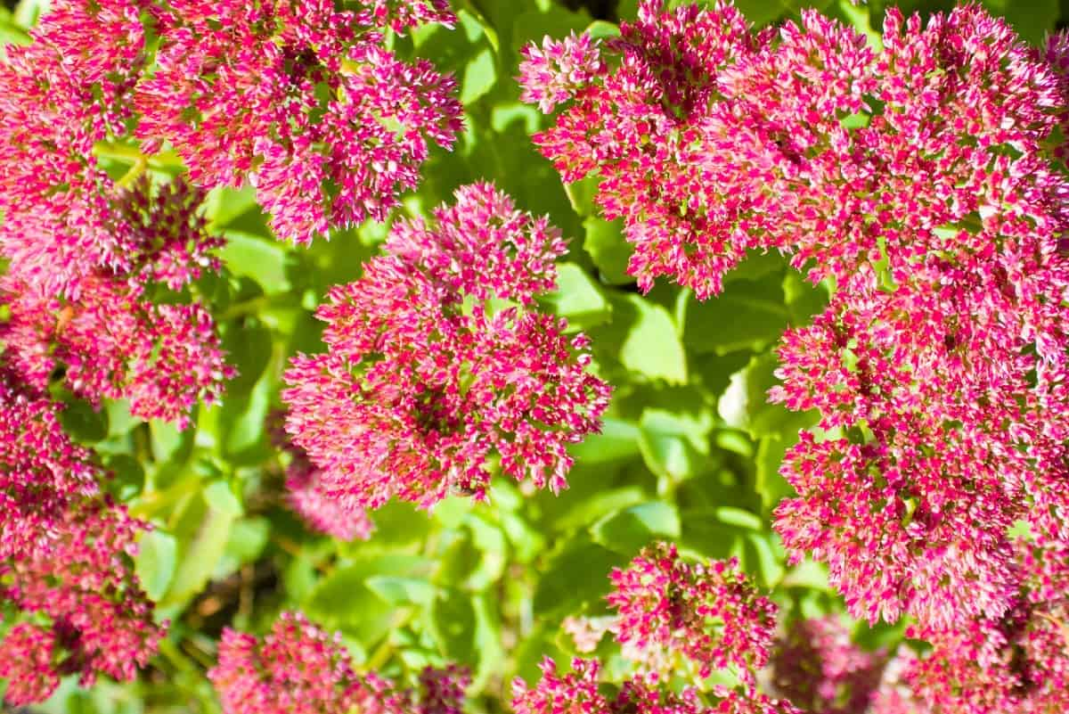 Orpine is commonly known as stonecrop or sedum.