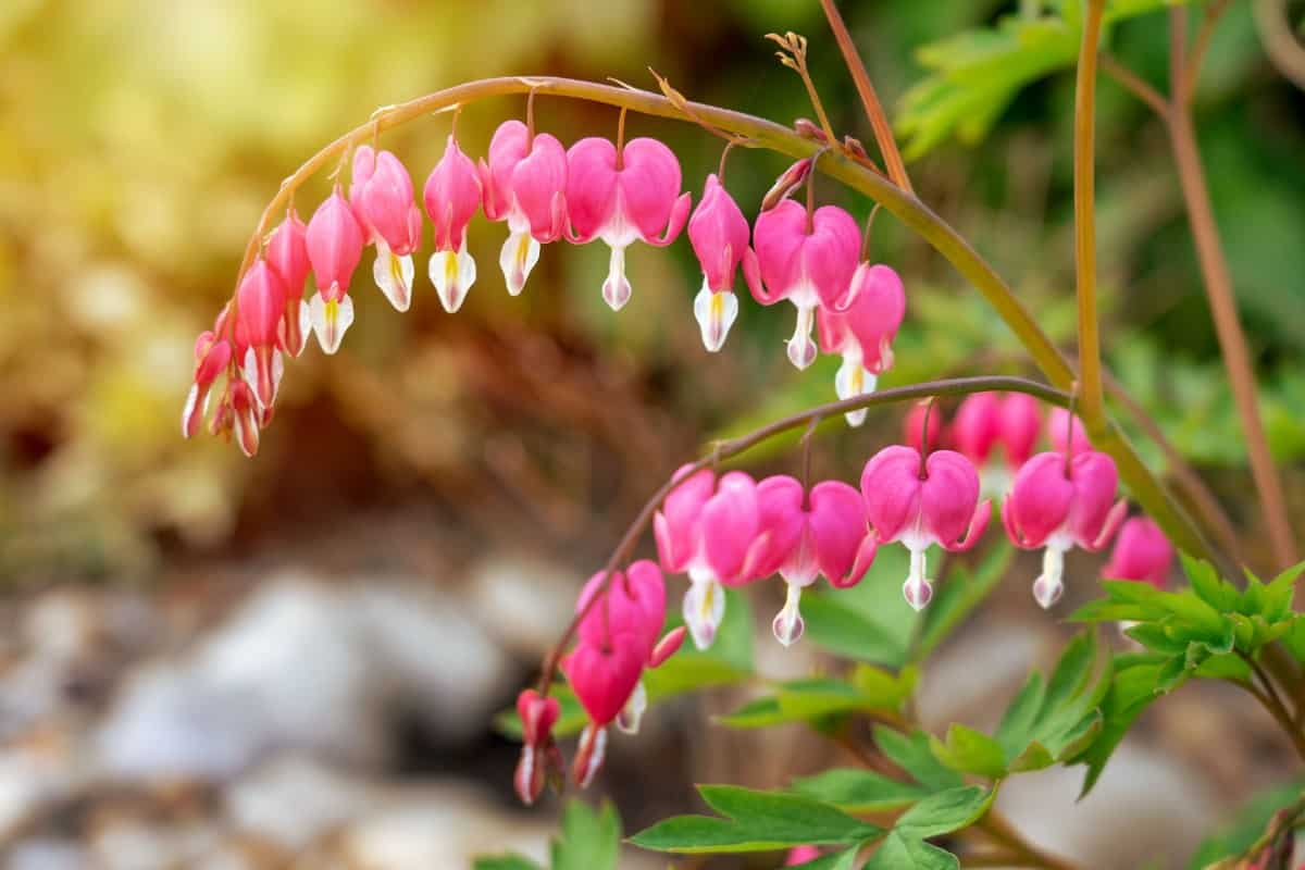 The Pacific bleeding heart is beautiful but toxic.