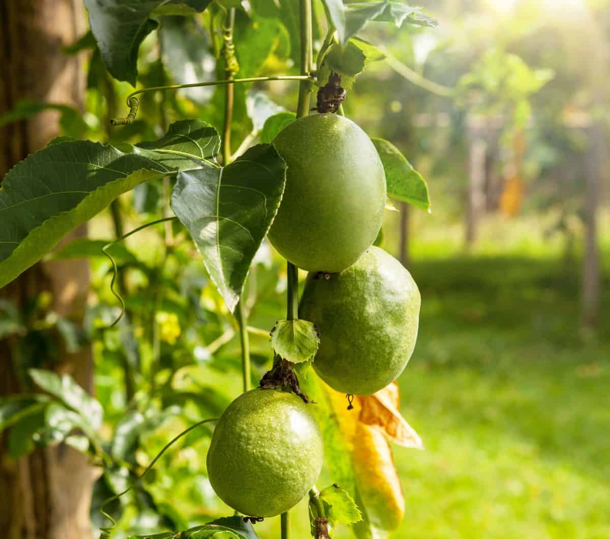 Passionfruit is a vine with exotic flowers.