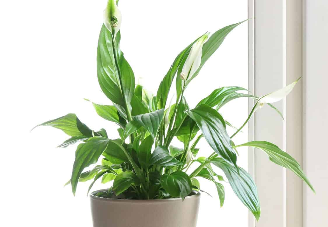 Peace lilies are suited for the tabletop or floor.
