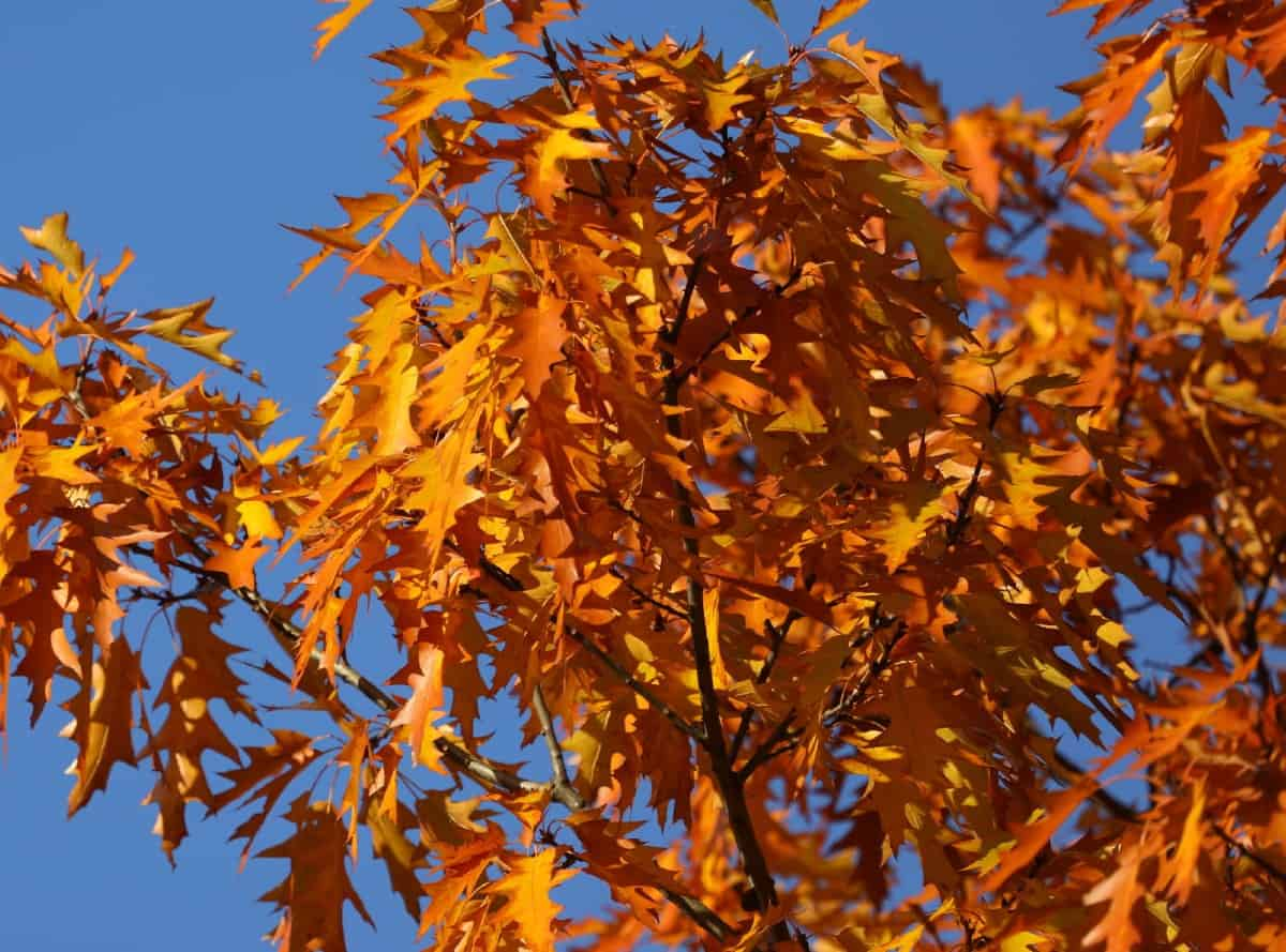 Pin oaks have fall leaves that are red to bronze.