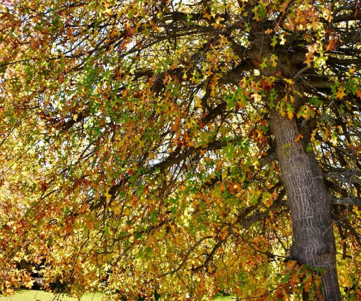 Pin oaks are fast-growing oak trees.