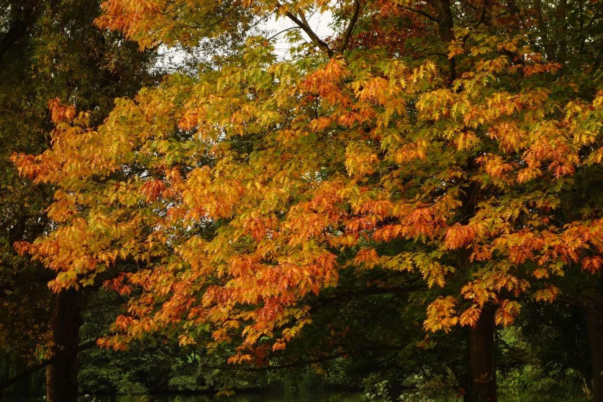 Pin oaks are easy-to-grow shade trees.