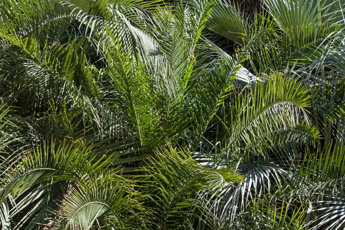 Pindo palm trees are commonly used as shrubs.