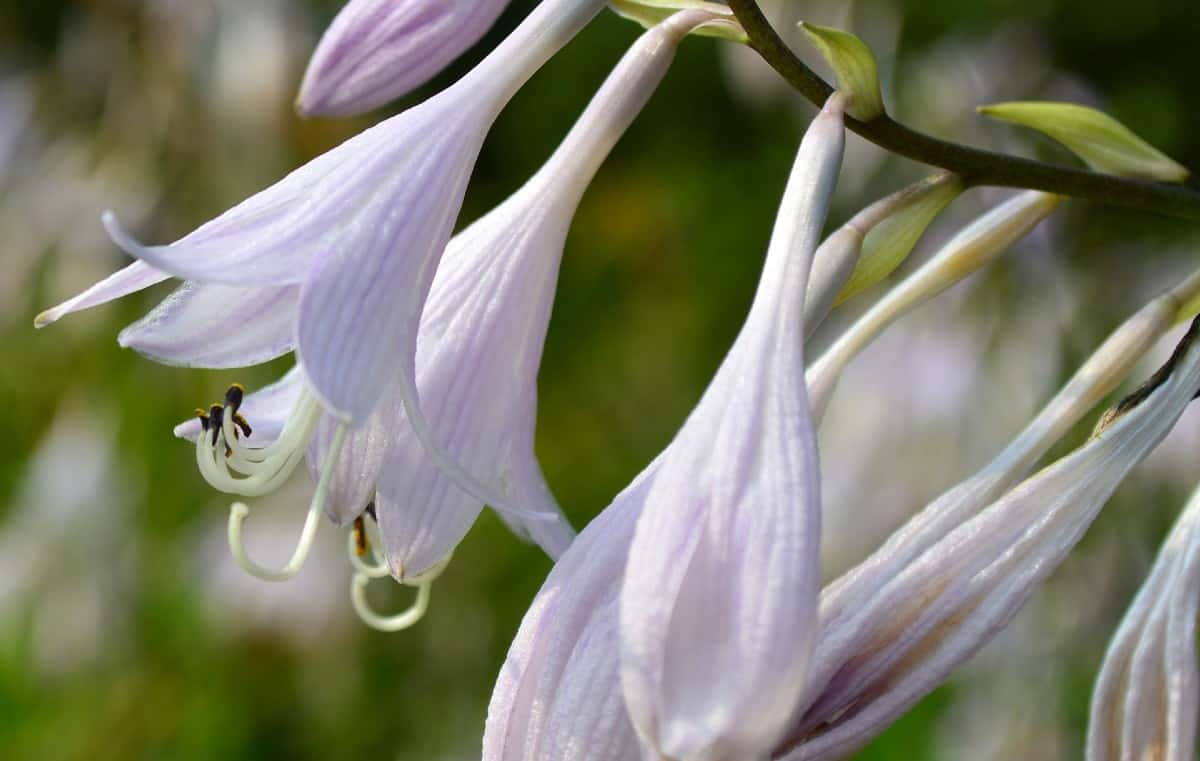 Plantain lilies are also known as hostas.