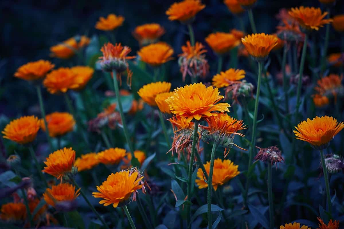 Pot marigolds are daisy-like flowers to add to a wildflower mix.