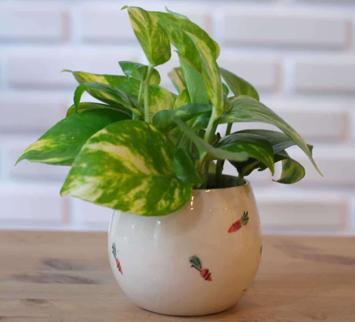 Other than being poisonous, pothos is the ideal indoor plant.