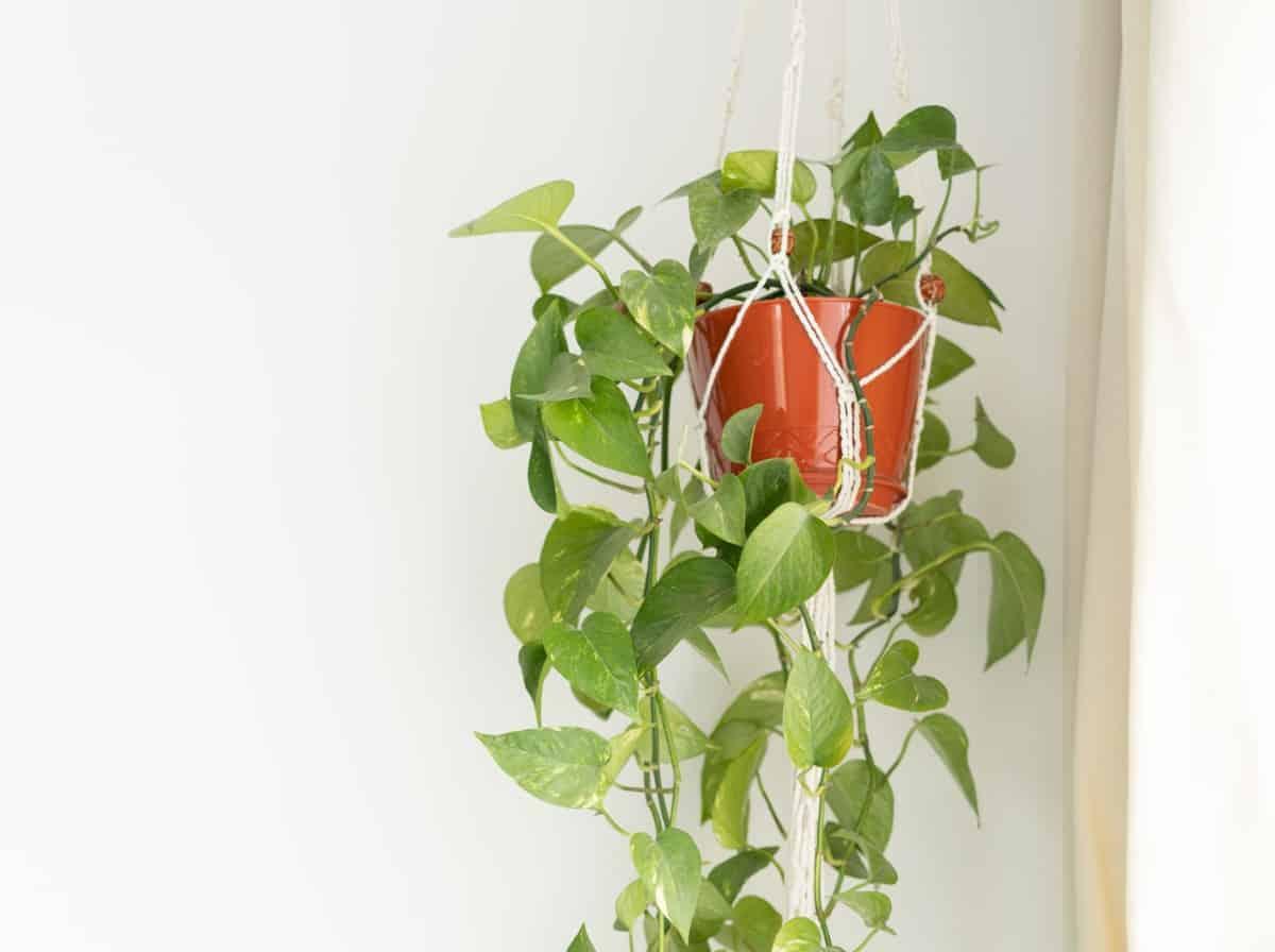 Pothos is an attractive but poisonous vine.