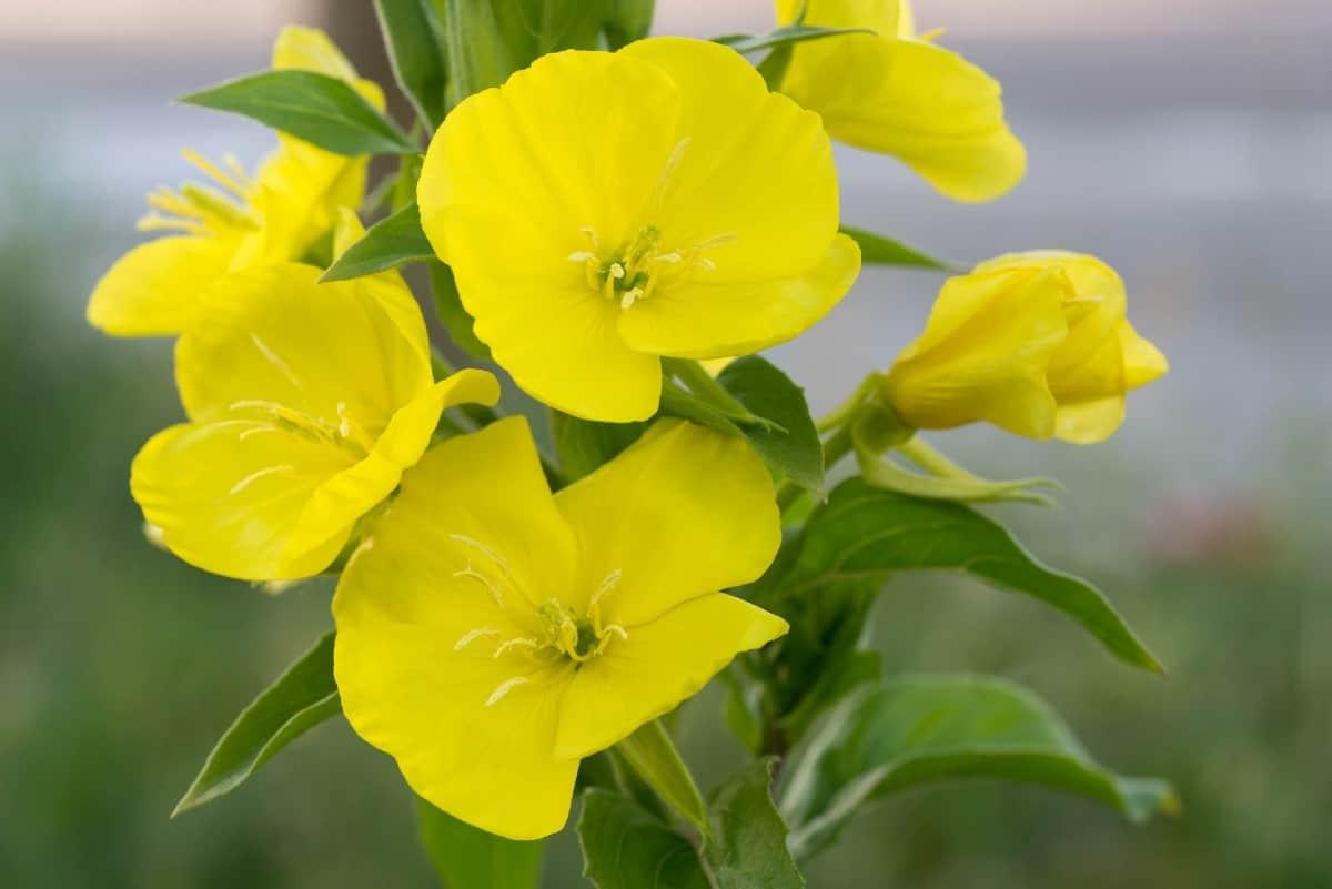 Primroses prefer lightly shaded areas.