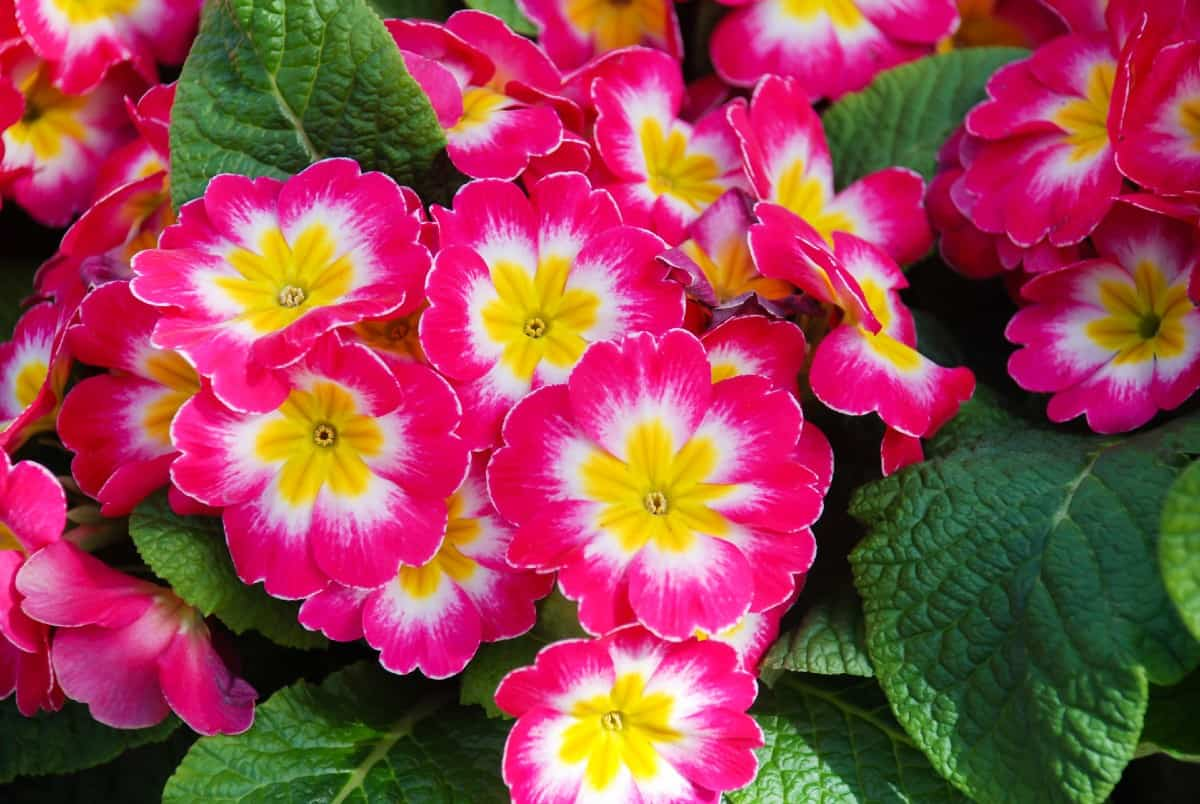Primroses are one of the earliest spring blooming perennials.