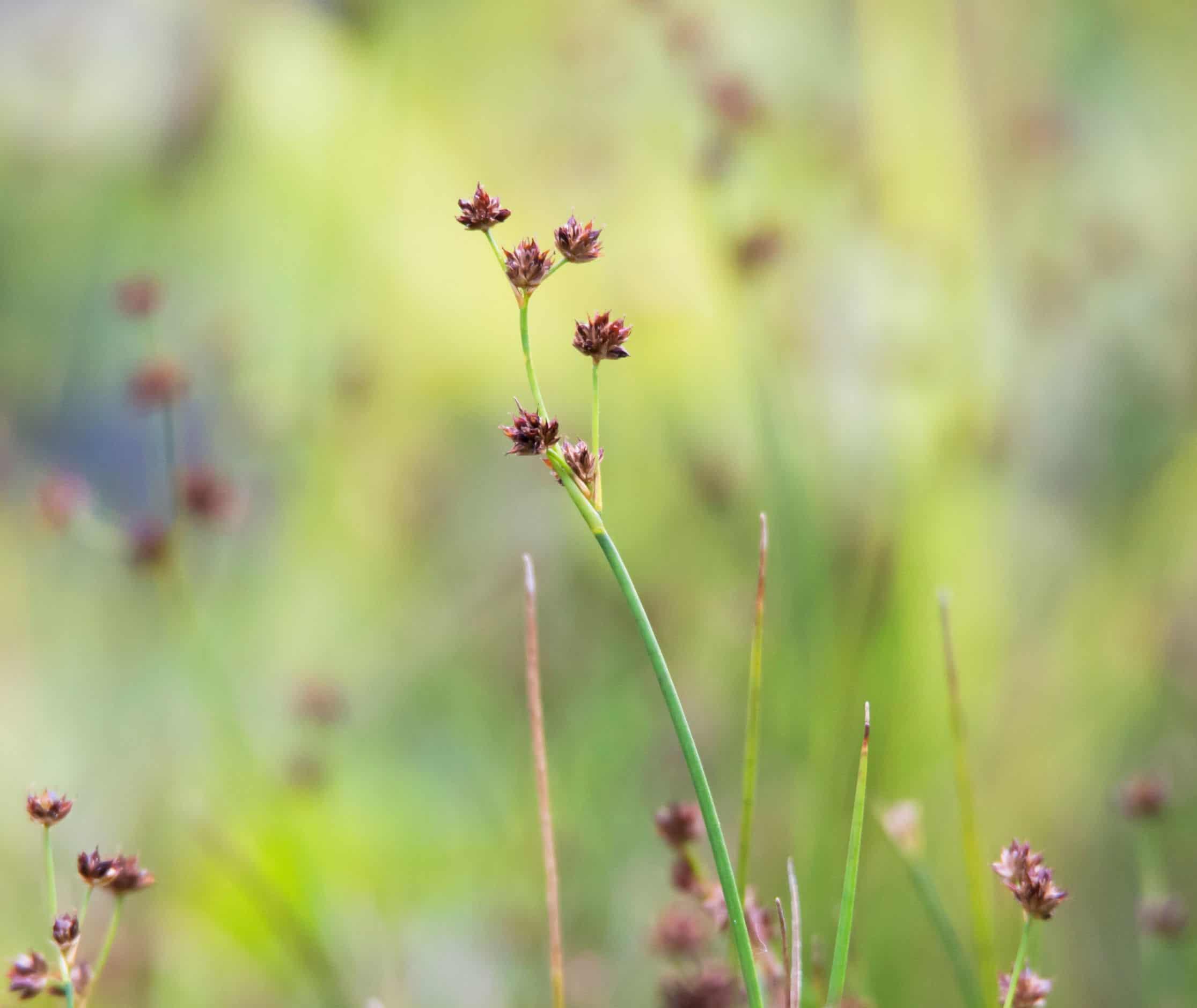 Purple spikerush is an aquatic plant.