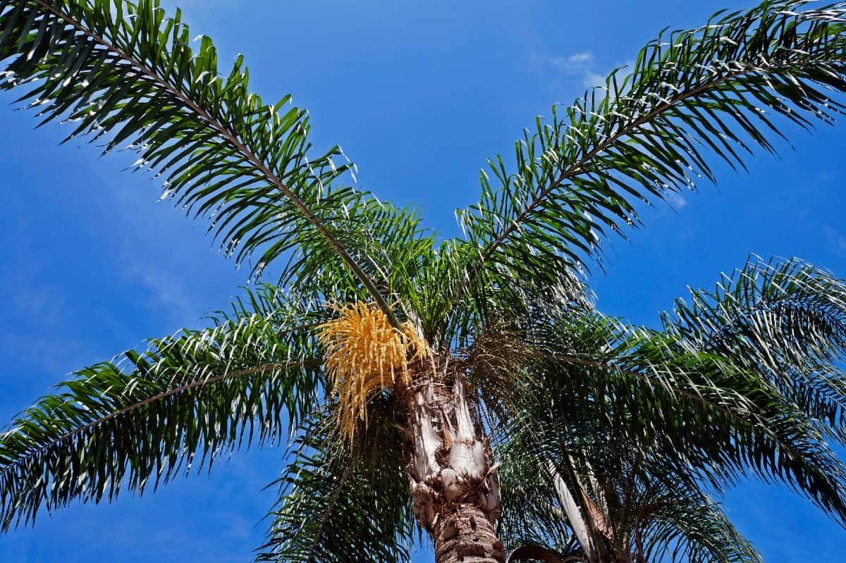 Queen palms have attractive orange flowers.