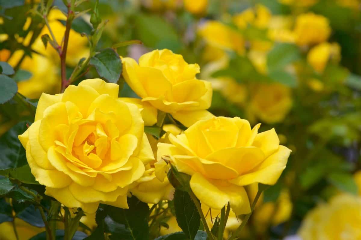 Radiant perfume is a yellow grandiflora rose bush.