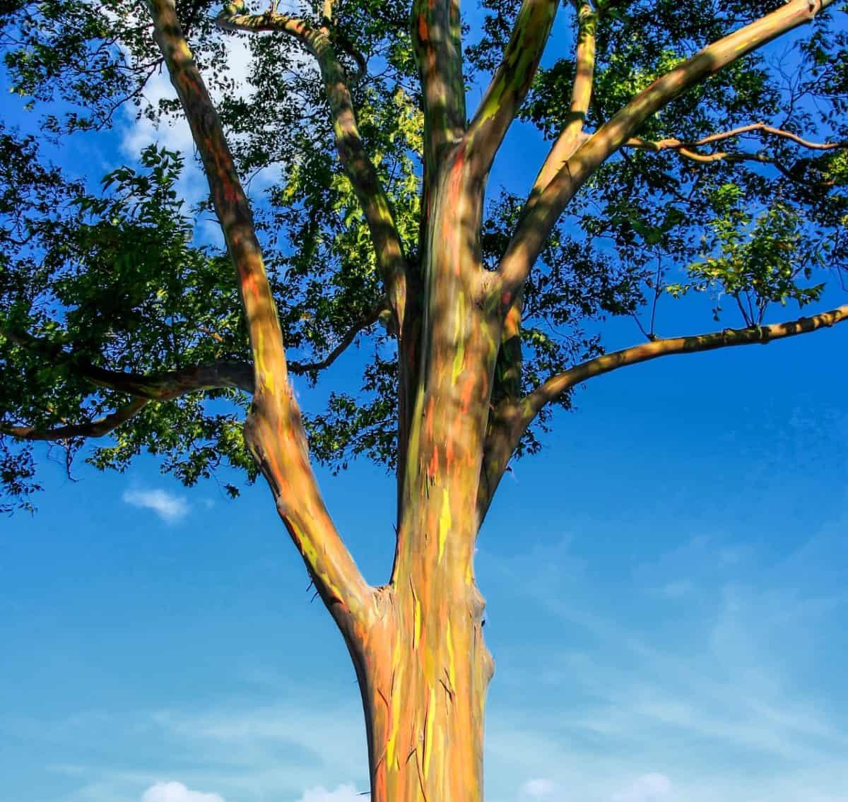 The unusual rainbow eucalyptus tree looks like it was painted.