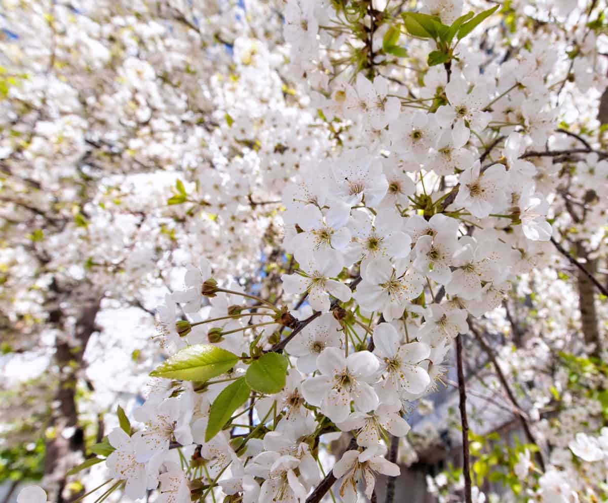 Ranier sweet cherry trees produce delicious fruit.