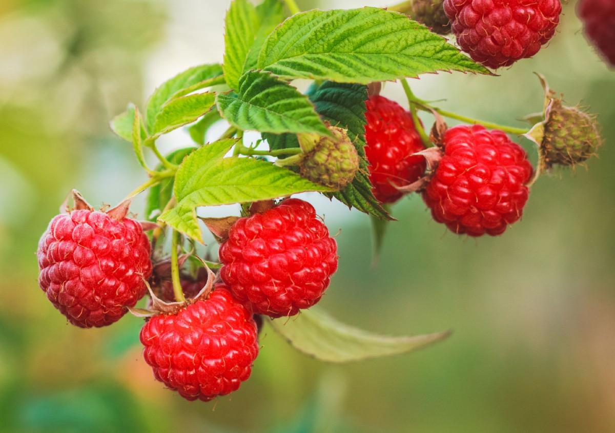 Raspberries are an easy-growing fruit.