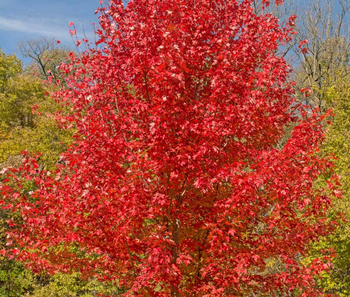 Red maple trees are beautiful in any season.