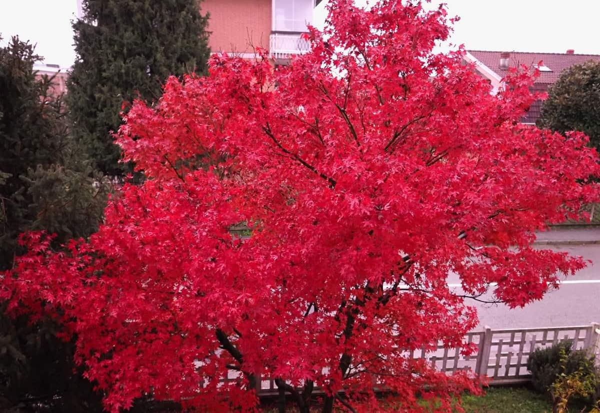 Red maples offer four season interest.