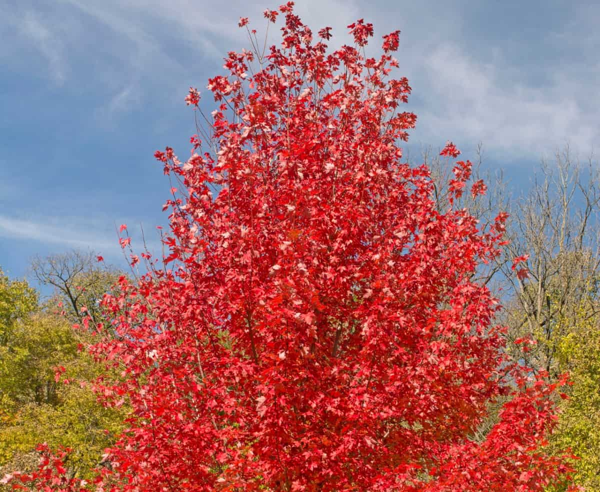 Red maple trees are deciduous fast growers.