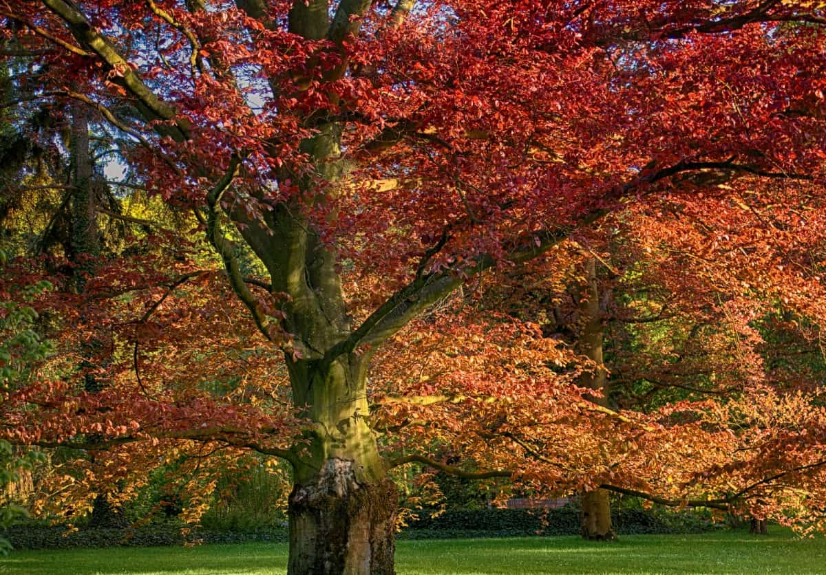 Red oak trees offer brilliant fall color.