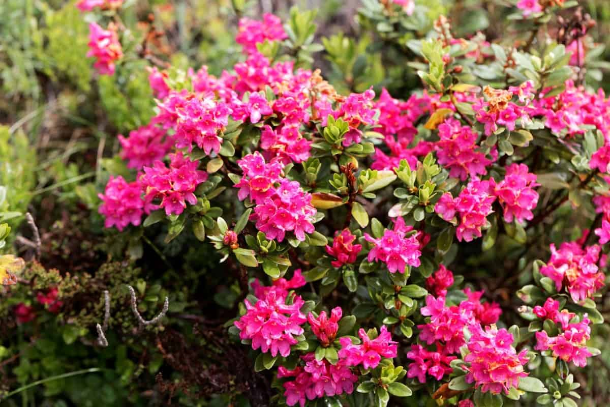 Rhododendrons are very low maintenance.