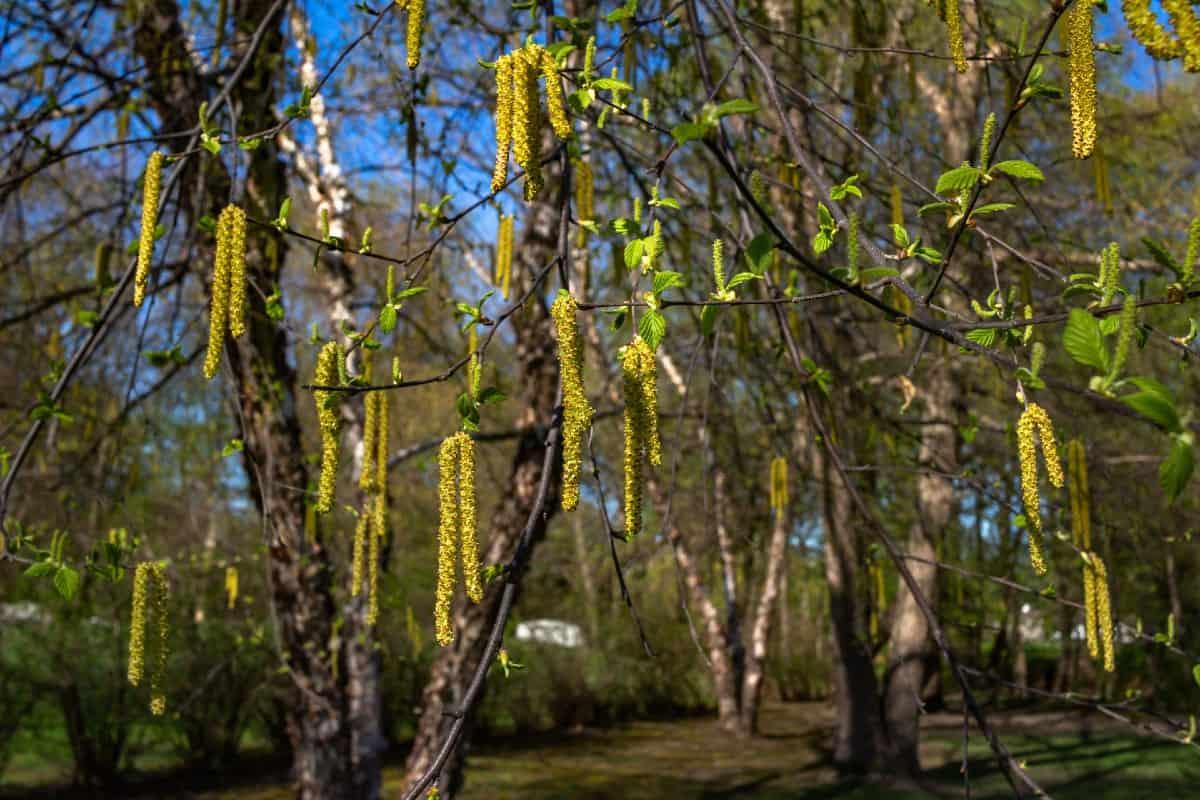 The river birch has multiple trunks.