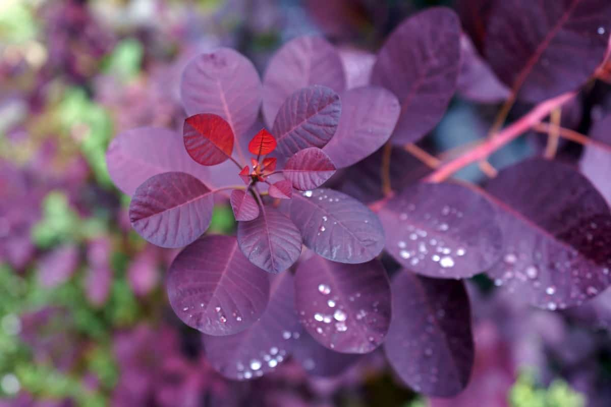 The royal purple smoke bush is often used as a specimen shrub.
