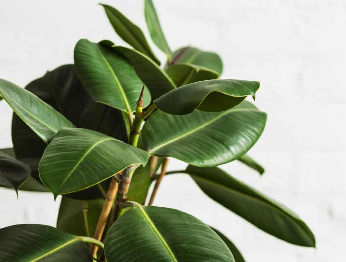 Rubber plants are taller species that do best on the floor.