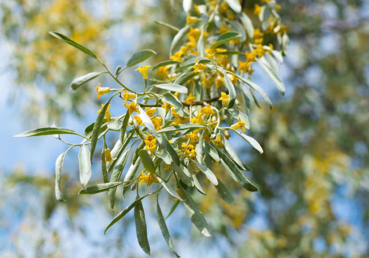 Russian olives are considered invasive.