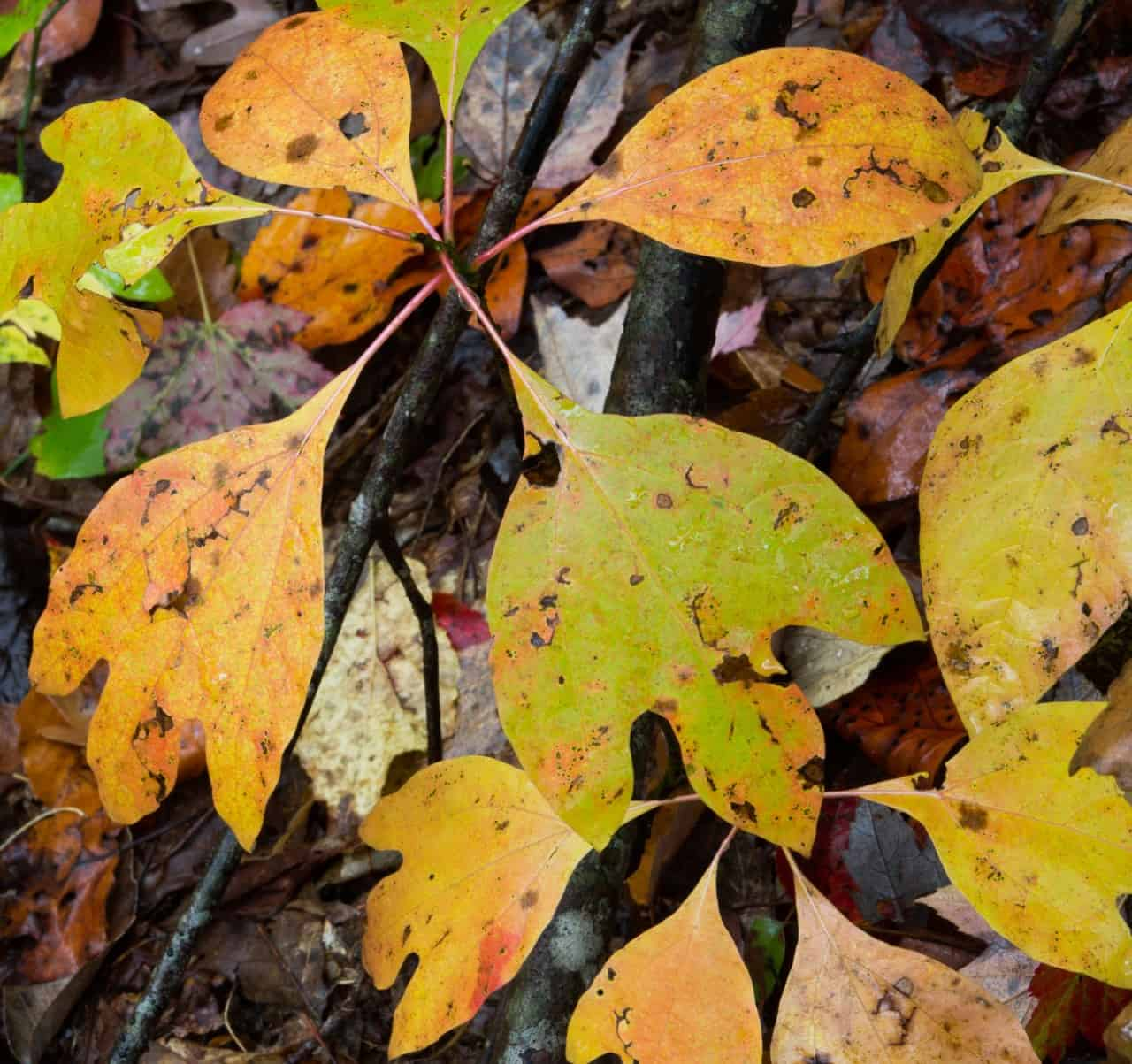 Sassafras trees have brightly-colored autumn leaves.