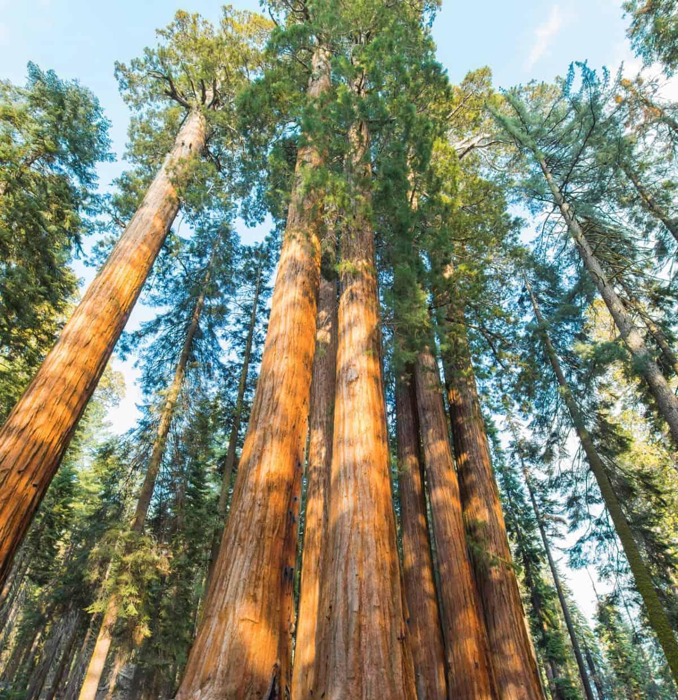 Sequoias are giant evergreen trees.