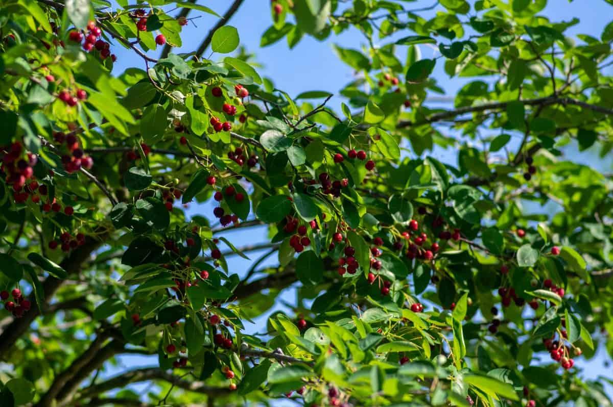 Serviceberry bushes provide year-round interest.