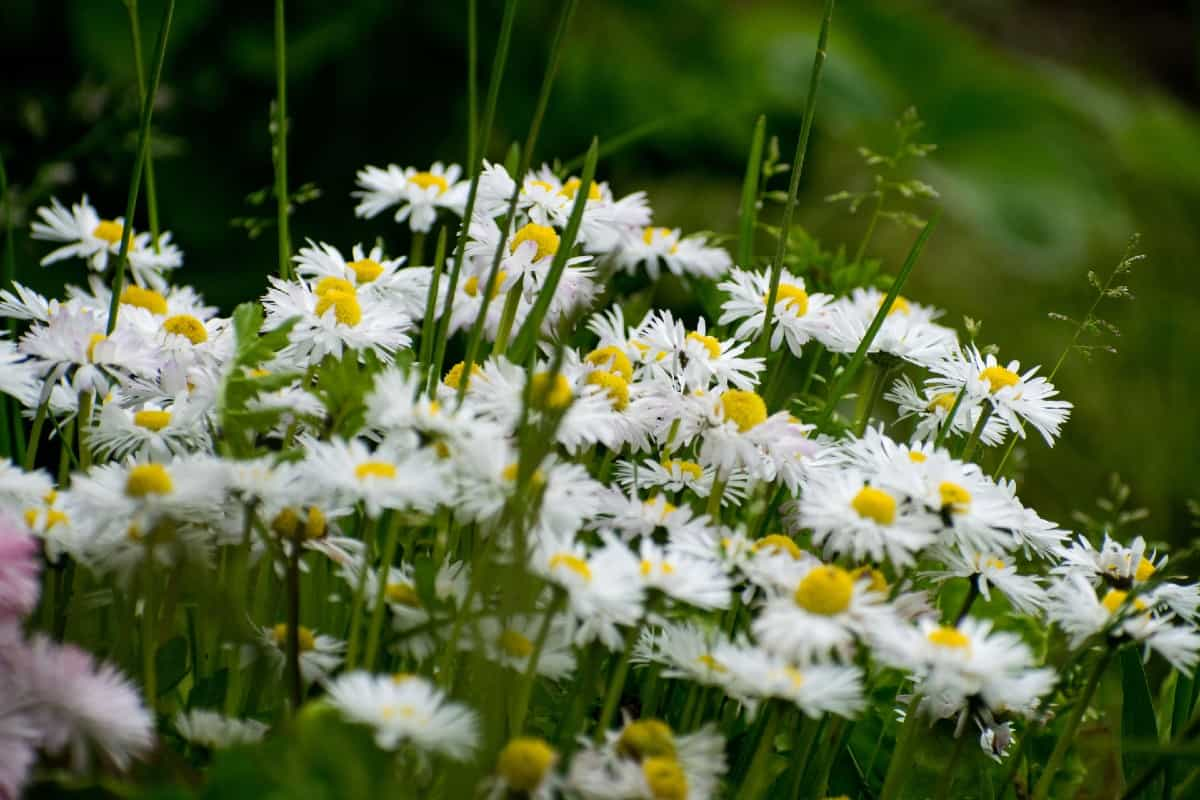 Shasta daisies are long blooming perennials.