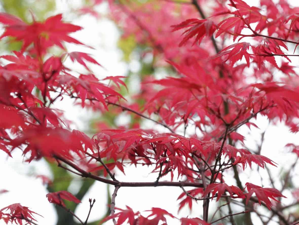 The Shindeshojo Japanese maple is a small tree.