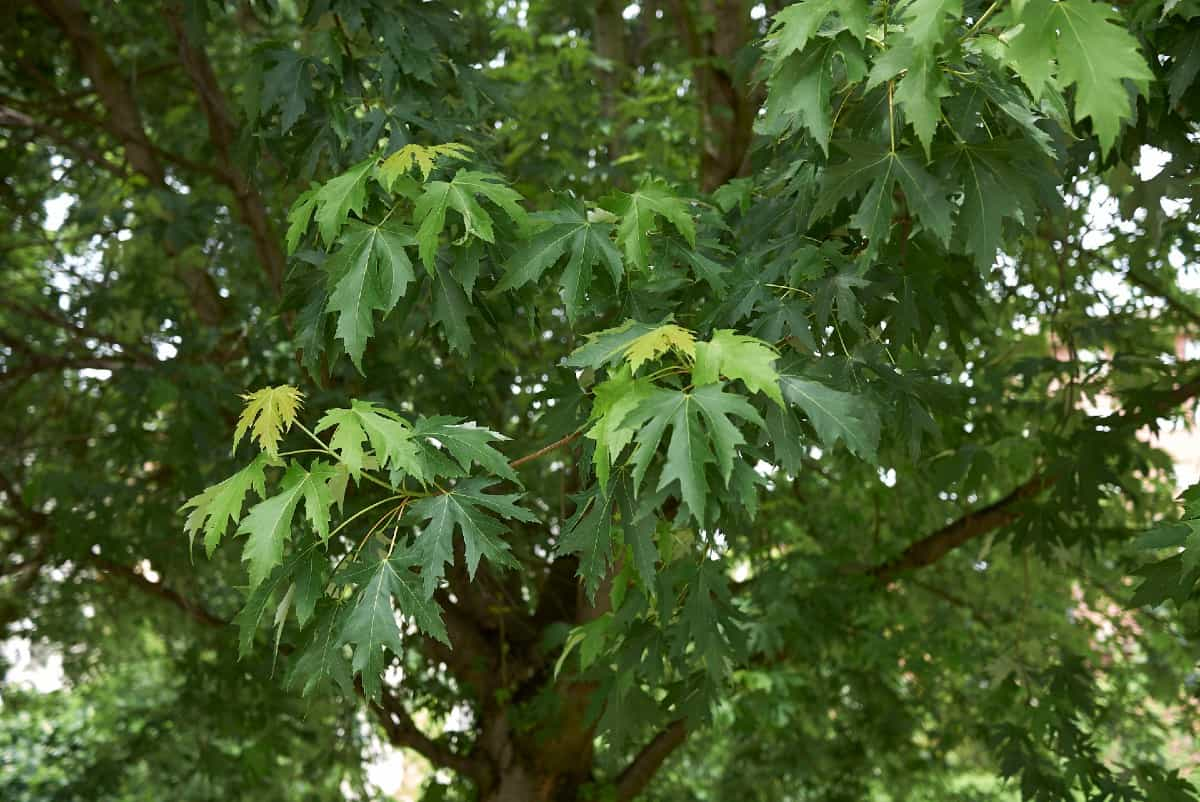 Silver maple trees are easy to grow.