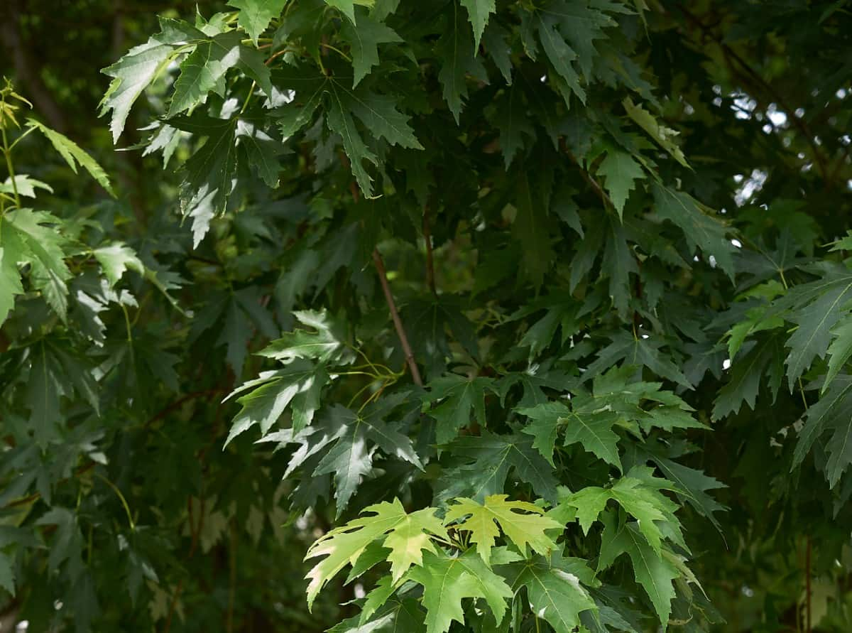 The underside of silver maple leaves is a silvery color.