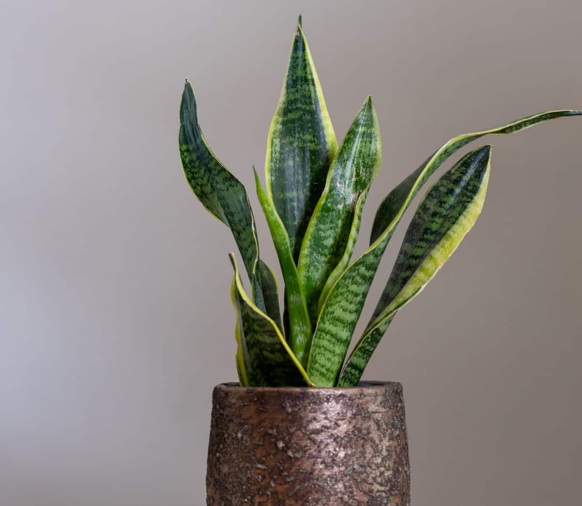 The snake plant is also known as sansevieria.