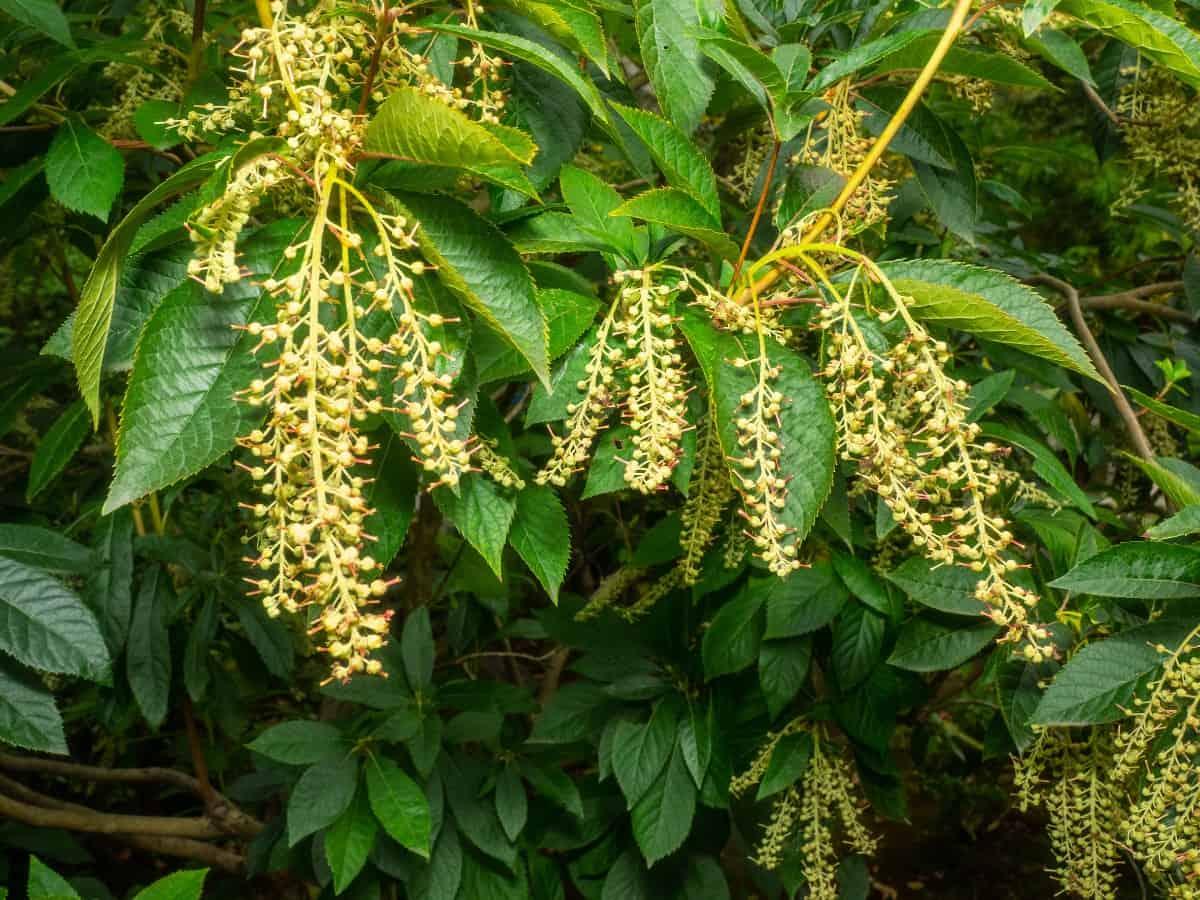 Sourwood trees have fragrant summer flowers.