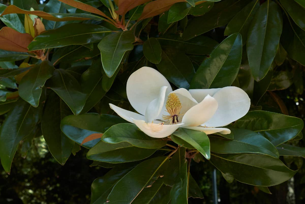 Southern magnolias have large leaves and flowers.