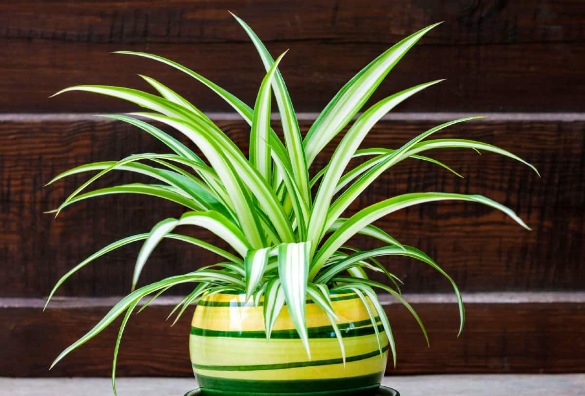Spider plants are ideal for hanging baskets in the office.